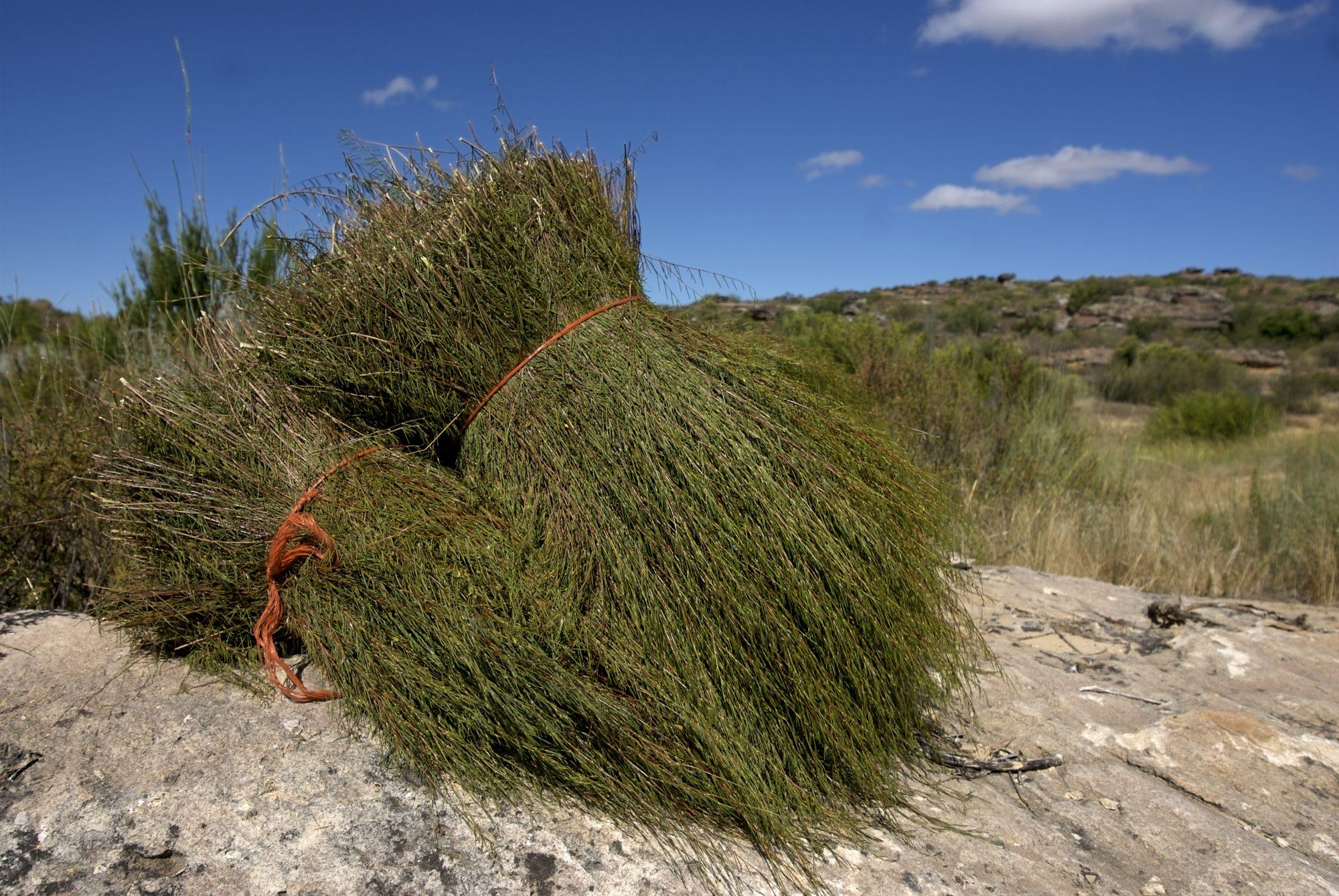 <p>Rooibos Plant</p>