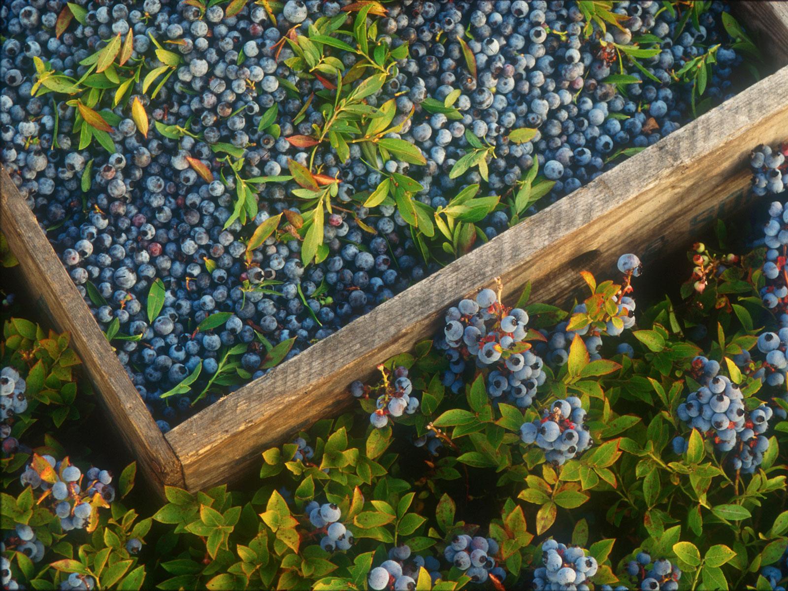 wild blueberry milk