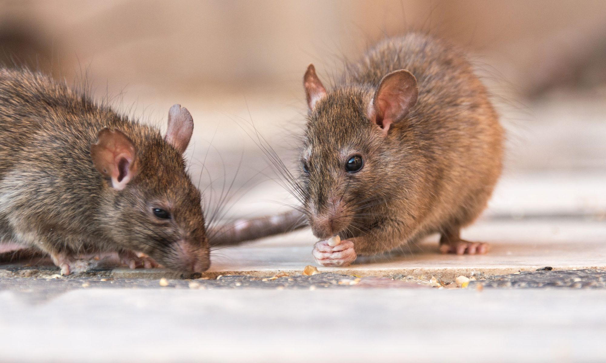 EC: This Cafe Is Crawling with Rats, but It's On Purpose