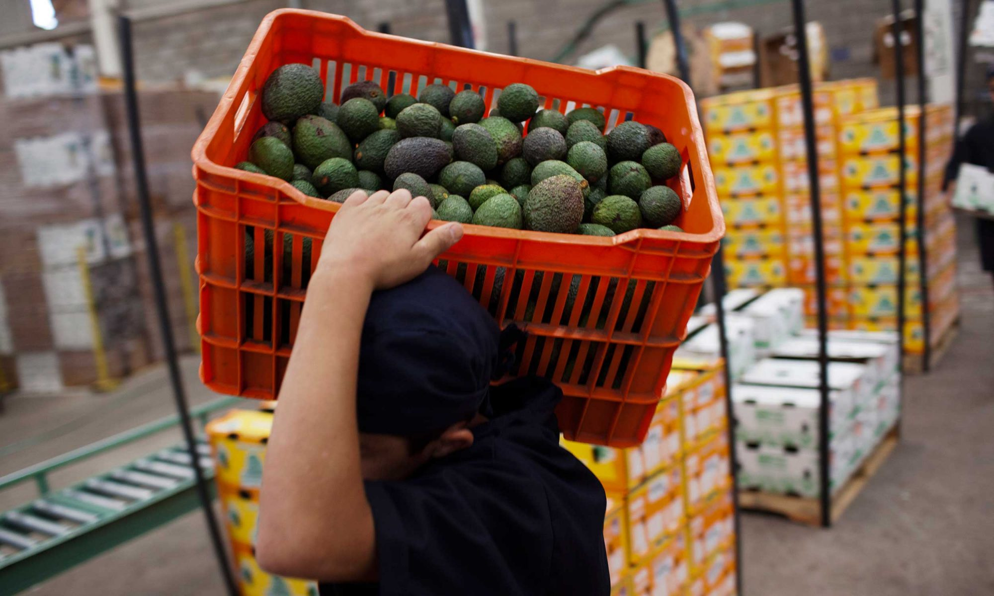 EC: Avocado Shipment Used as Cover to Smuggle a Thousand Pounds of Weed