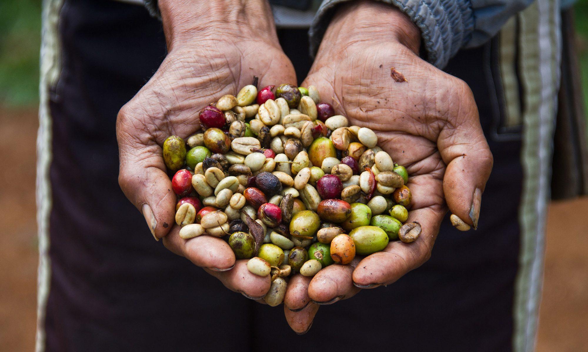 EC: Hurricane Maria Destroyed Puerto Rico's Coffee Farms