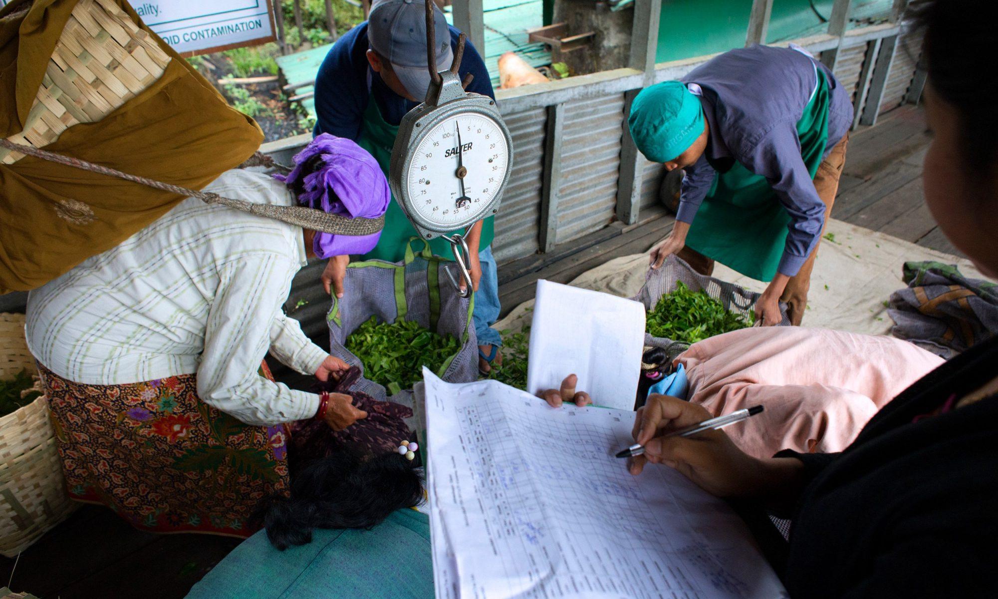 EC: Darjeeling Tea Shortage Looms in the United Kingdom