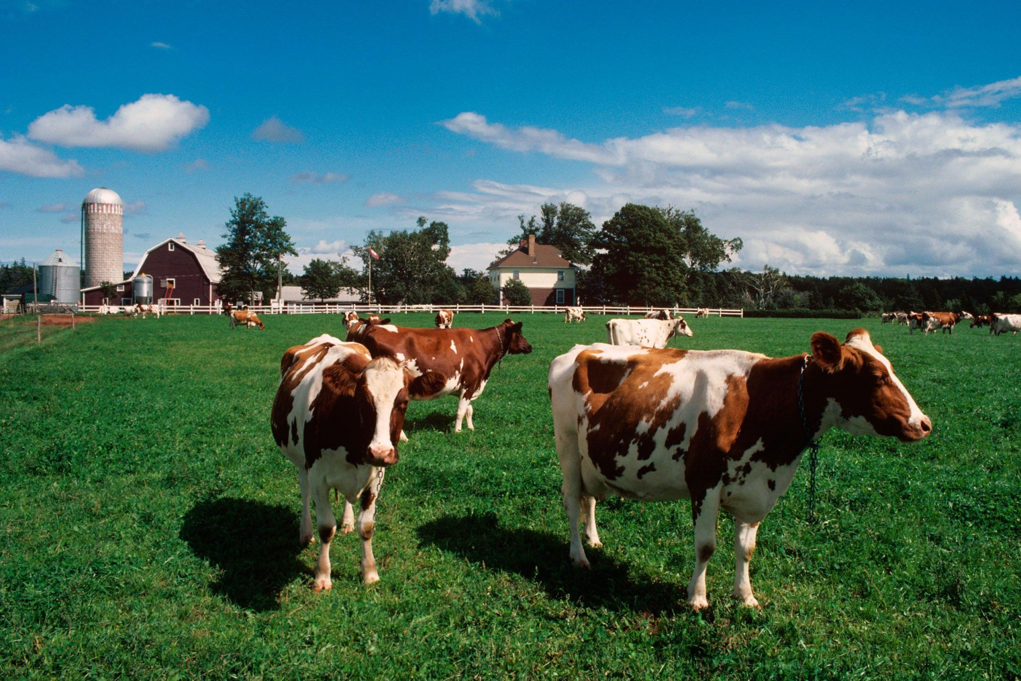 EC: Many Americans Believe Chocolate Milk Comes from Brown Cows
