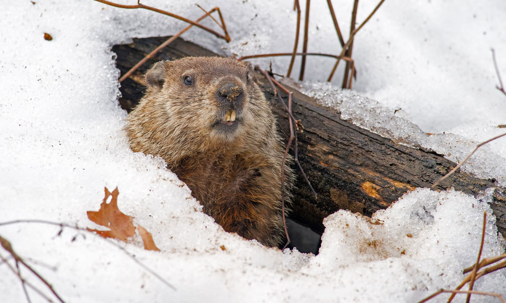 EC: So, Can You Eat Groundhog?
