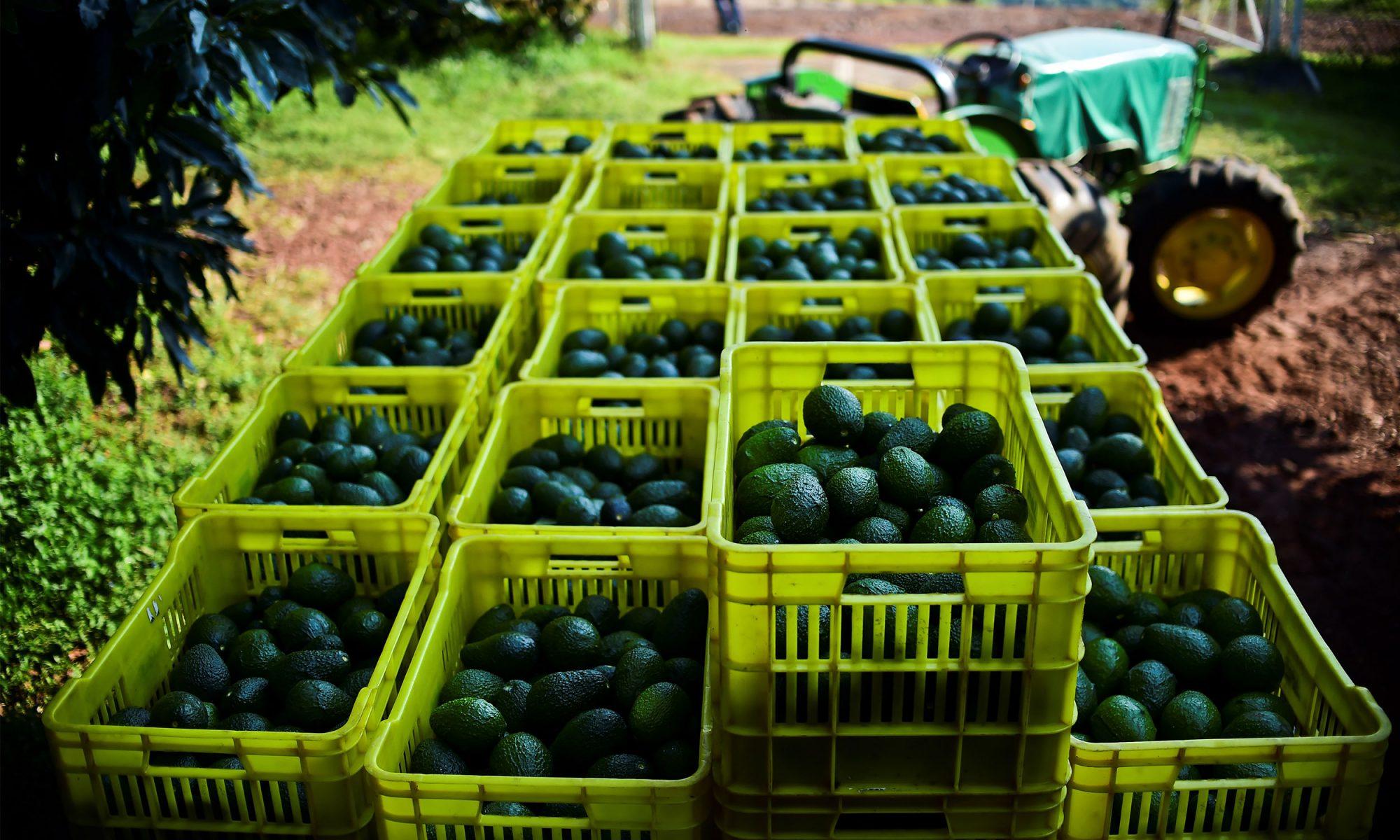 mexican avocado cops
