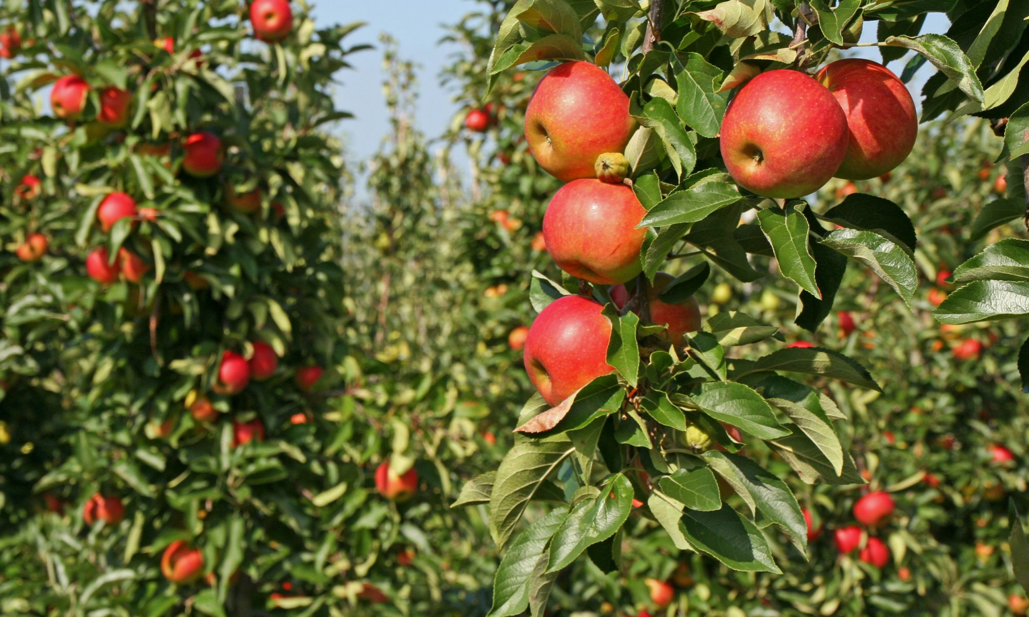 EC: It's One of the Best Apples You'll Ever Taste—So Why Is Almost Nobody Growing It?