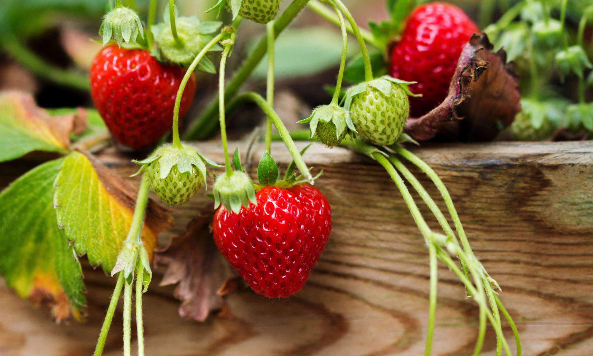 strawberry raspberry hybrid