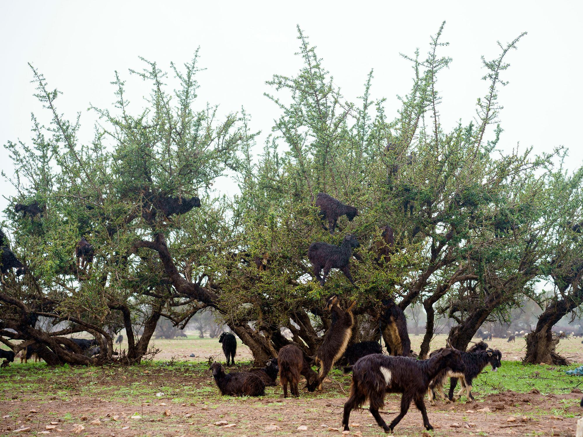 goats-inline-1.jpg