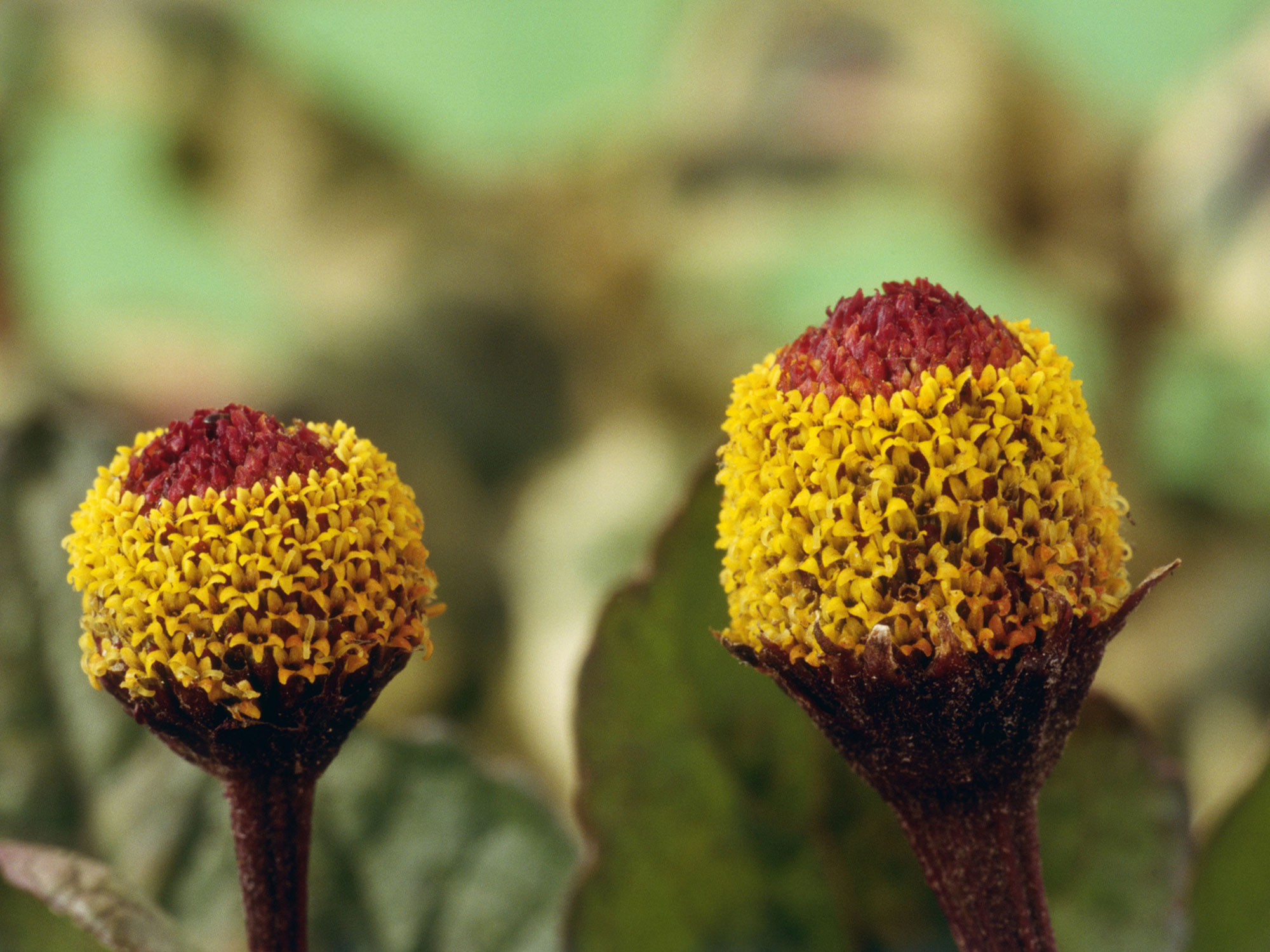 Spilanthes aka Acmella oleracea aka the toothache plant.