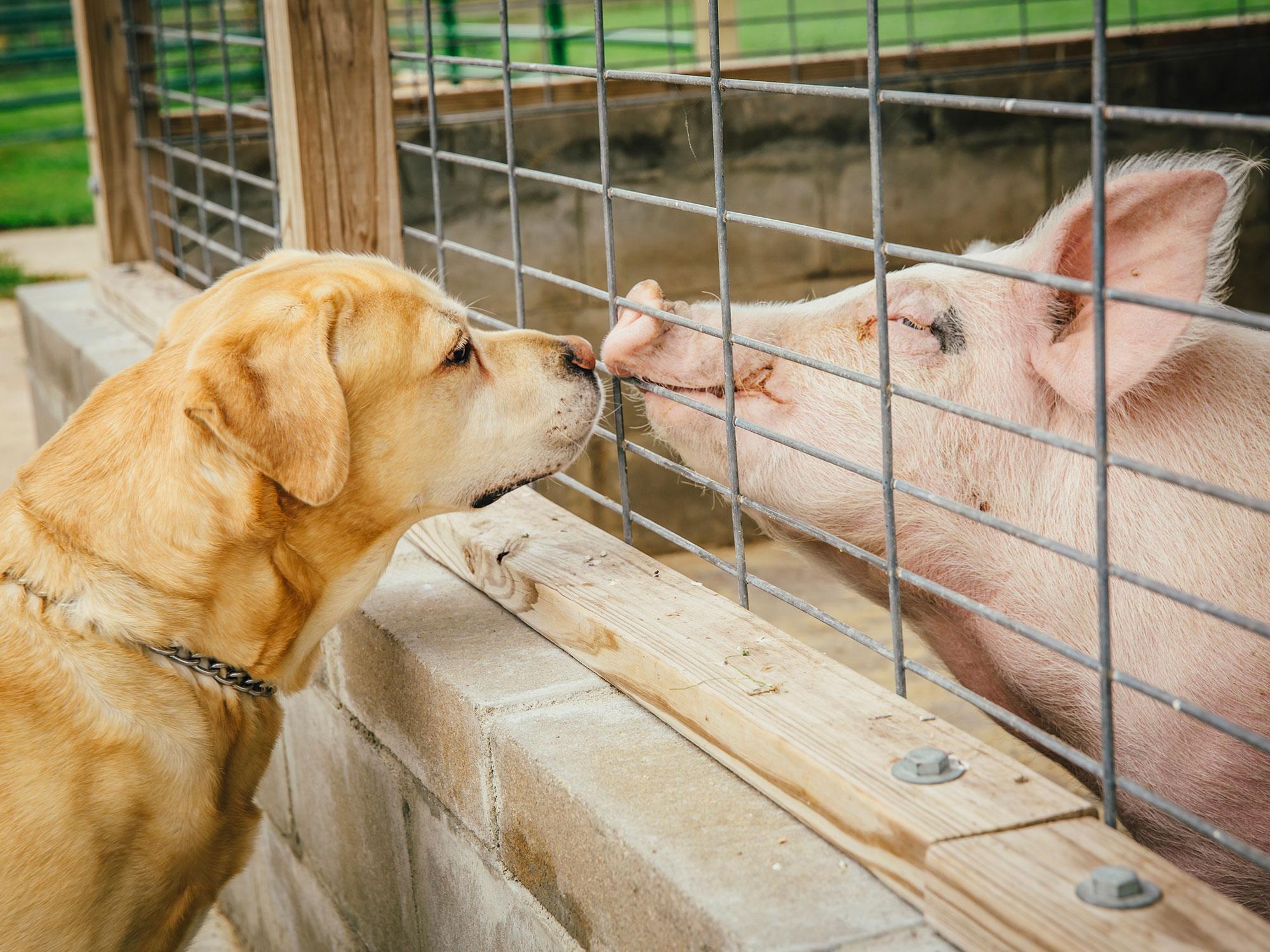 dog-pig.jpg