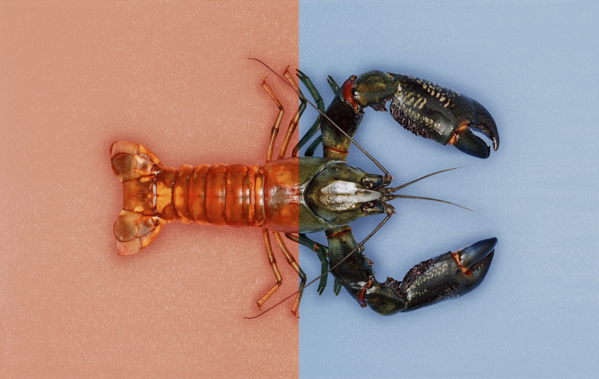 Getty Trippy Lobster Image