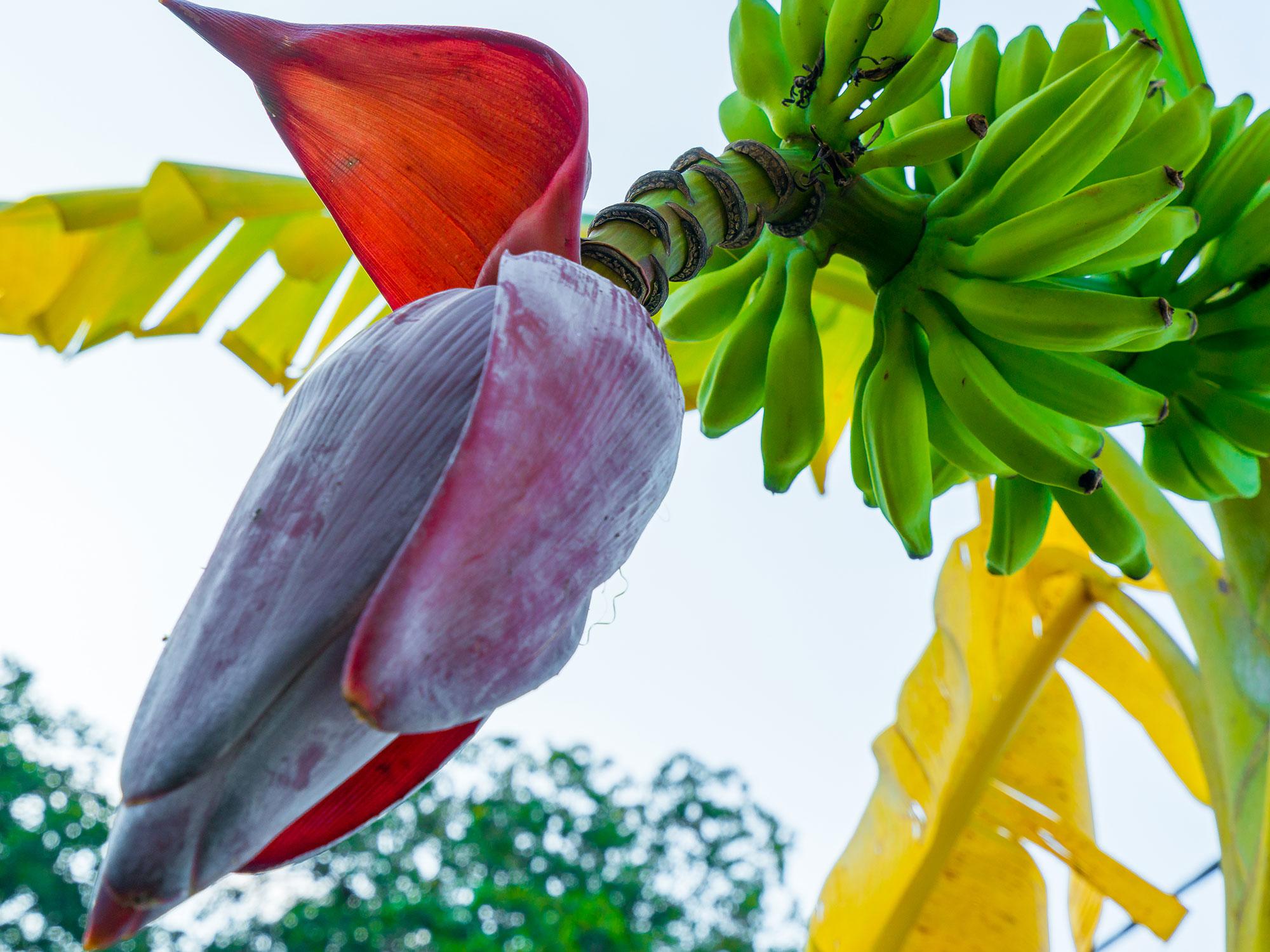 What Is Banana Blossom Extra Crispy