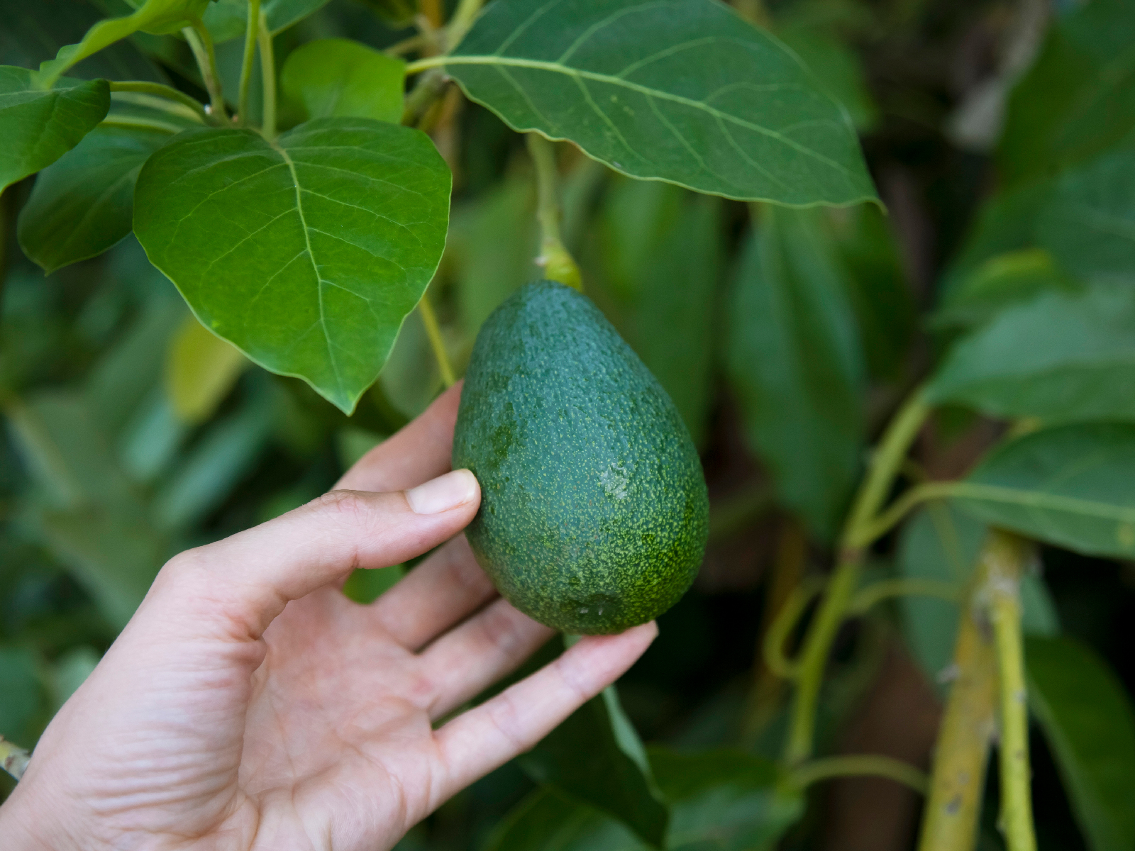 This Avocado Oil Company Is Giving Away an Entire Avocado Grove