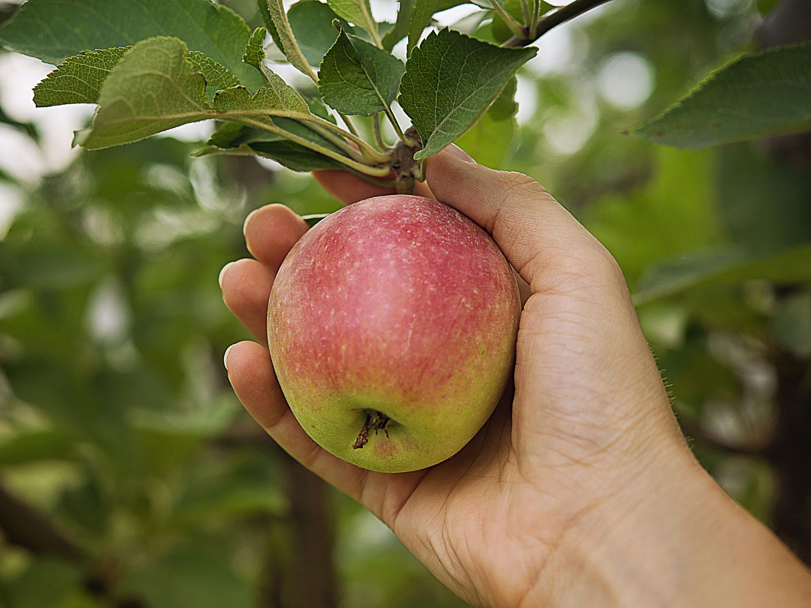 How Do You Even Steal 50,000 Apples?