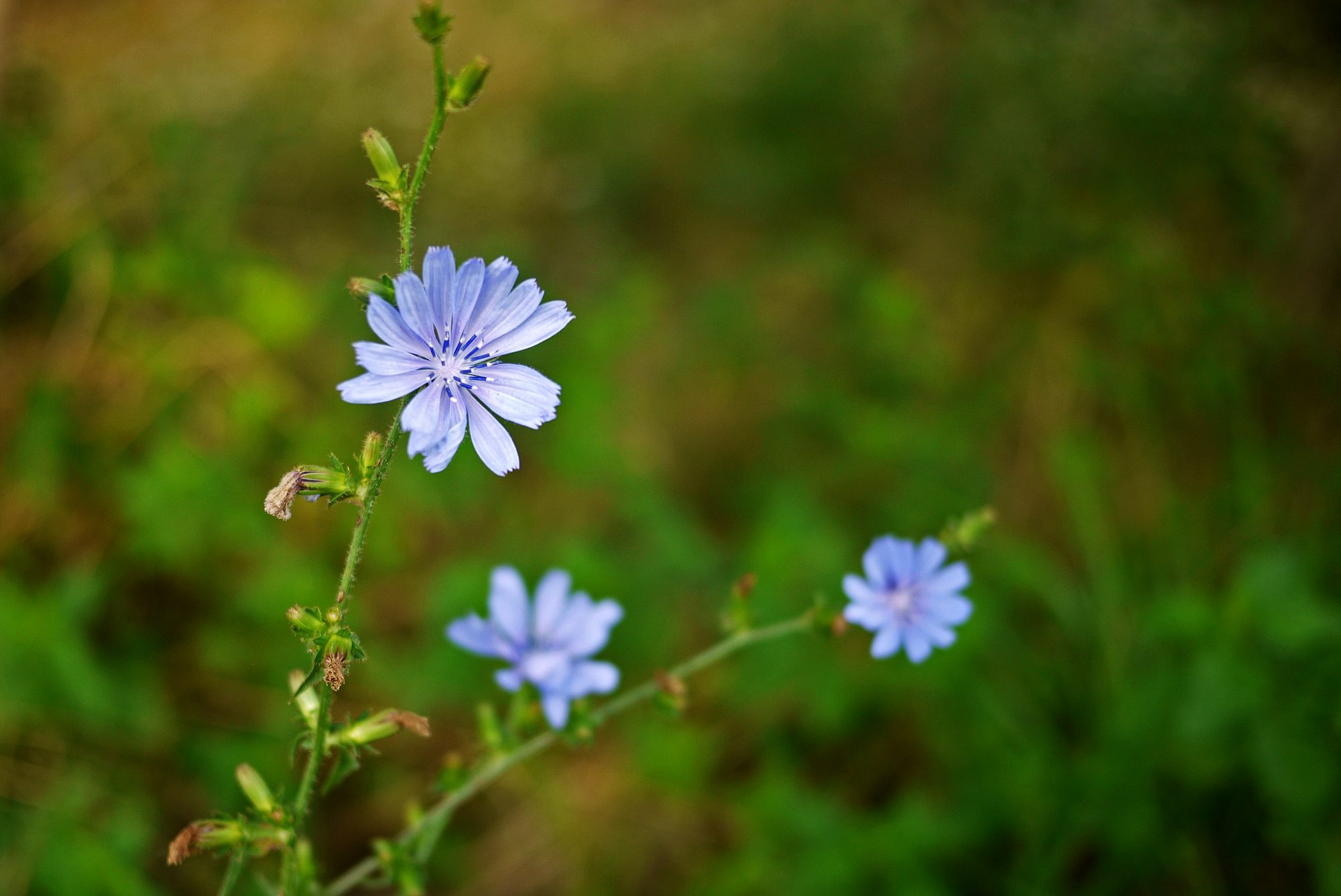 Chicory Plant Getty 10/17/19