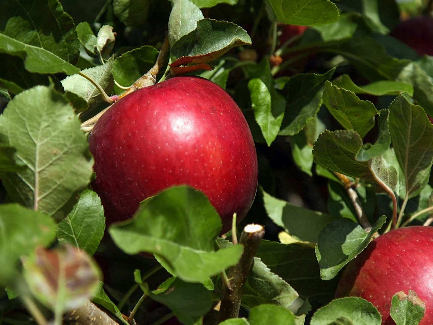 Cosmic Crisp Apples Are Coming to Save Us From Red Delicious Disappointment cosmic-crisp-apple-3-FT-BLOG1019
