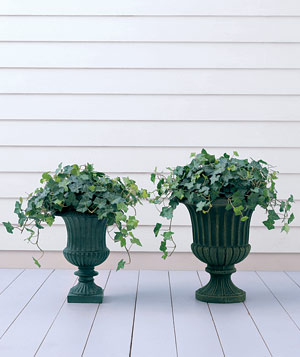 When potting ivy, make sure the containers have enough depth to allow for proper drainage.