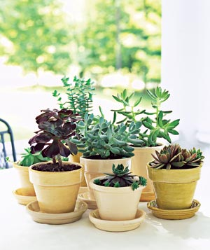 """Create a """"centerpiece"""" for your porch by grouping varieties of the same species planted in similar pots."""