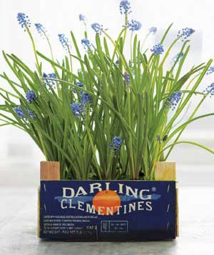 During the winter, you can force bulbs to bloom indoors (like the Christmas Pearl grape hyacinths shown here), then replant outside come spring.
