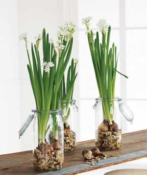 Pungently fragrant paperwhite narcissus are easy to coax into bloom indoors. Use tall containers with no drainage holes.