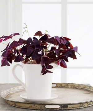 Planted in a ceramic pitcher (drilled to add drainage holes), purple shamrock makes the tiniest indoor container garden.
