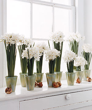 Paperwhite Bunches and Bulbs