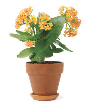 Potted Kalanchoe flower