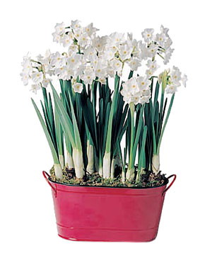 Paperwhites by Plow & Hearth