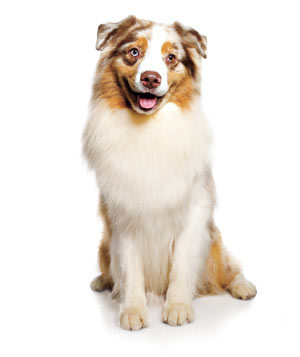 Border Collie / Australian Shepherd mix dog