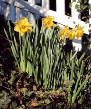 Daffodils next to a white picket fence
