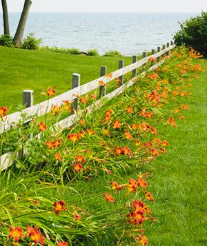 Lilies along a fence