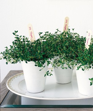 Thyme in a a cup