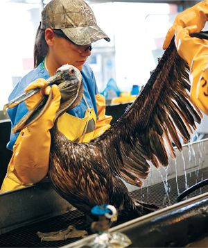 Washing pelicans wing
