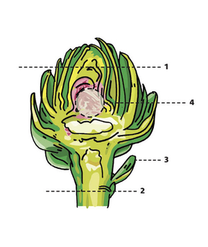 Illustration of the easiest way to prep artichokes