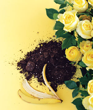 Banana peel with soil and yellow roses