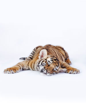 Tiger cub sleeping