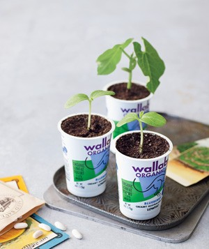 Yogurt Container as Seedling Cup