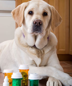 Labrador dog lying next to bottle of pills and medication