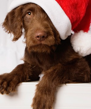 Portrait of a Labradoodle wearing a Santa hat