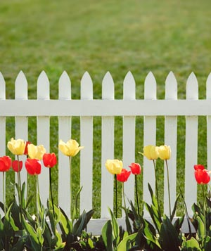 Tulips next to a white picket fence