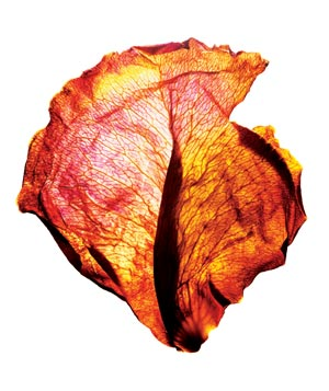 Red, orange, yellow dried petal