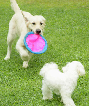 Two dogs playing together with frisbee