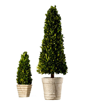 Boxwood Cone Topiaries