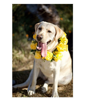 Dog wearing a collar of yellow roses
