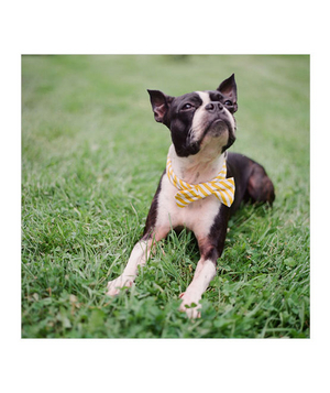 Dog wearing a yellow striped bow tie