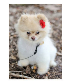 Little white dog wearing red flower