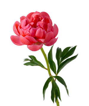 6 pretty flowers and their symbolic meanings real simple symbolism fantastic extravagance advertisement peony mightylinksfo Images