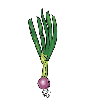 Illustration of a spring onion