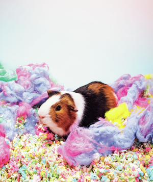 Guinea pig in colorful fluff and confetti