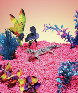 Leopard gecko on pink rocks